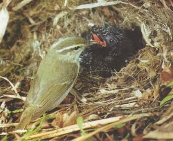 Светлоголовая пеночка (с птенцом глухой кукушки)