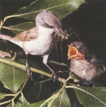 Лесные птицы с хохолком. смотрите в паук птицеед в дар.