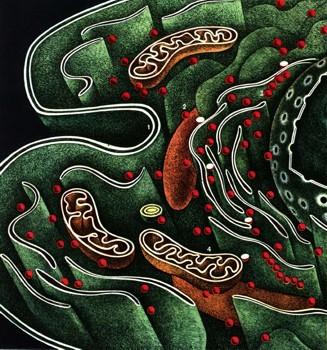 Схема строения клетки (условно): 1 - двухслойная оболочка клетки;2 - рибосома; 3 - полисома; 4 - митохондрия...